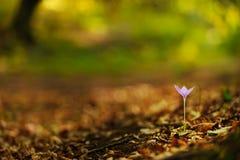 Açafrão selvagem bonito, autumnale do Colchicum, flores em uma floresta da montanha Fotografia de Stock