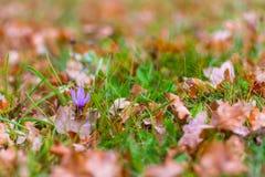 Açafrão selvagem bonito, autumnale do Colchicum, flores na grama verde e folhas marrons secadas no outono Fotografia de Stock Royalty Free