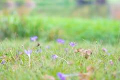 Açafrão selvagem bonito, autumnale do Colchicum, flores na grama verde no outono Fotografia de Stock Royalty Free