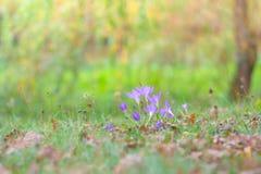 Açafrão selvagem bonito, autumnale do Colchicum, flores na grama verde no outono Fotos de Stock
