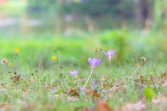 Açafrão selvagem bonito, autumnale do Colchicum, flores na grama verde no outono Foto de Stock Royalty Free