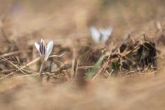 Açafrão selvagem na floresta em um gramado em um montanhês na primavera Fotos de Stock
