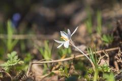 Açafrão selvagem na floresta em um gramado em um montanhês na primavera Fotografia de Stock Royalty Free