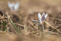 Açafrão selvagem na floresta em um gramado em um montanhês na primavera Imagens de Stock Royalty Free