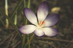 Açafrão selvagem (tommasinianus do açafrão) que floresce no jardim Fotos de Stock Royalty Free
