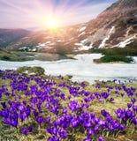 Açafrão-snowdrops Fotos de Stock Royalty Free