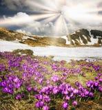 Açafrão-snowdrops Fotos de Stock