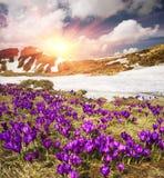 Açafrão-snowdrops Foto de Stock