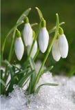 Açafrão-snowdrops Imagens de Stock