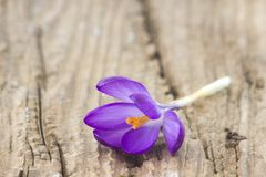 Açafrão - uma das primeiras flores da mola Fotografia de Stock Royalty Free