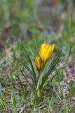 Açafrão - uma das primeiras flores da mola Foto de Stock Royalty Free