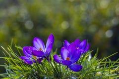 Açafrão - uma das primeiras flores da mola Imagens de Stock