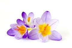 Açafrão - uma das primeiras flores da mola Fotos de Stock
