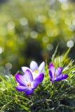 Açafrão - uma das primeiras flores da mola Imagem de Stock