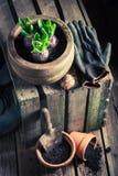 Açafrão verde recentemente crescido em uma vertente de madeira velha Imagens de Stock Royalty Free