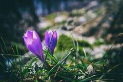Açafrão violeta Foto de Stock