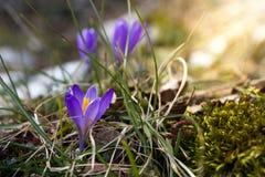 Açafrão violeta Fotos de Stock Royalty Free