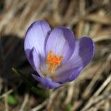 Açafrão violeta Imagem de Stock