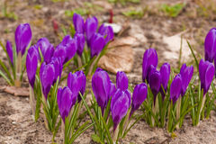 Açafrão violeta Foto de Stock Royalty Free
