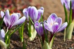 Açafrão violeta Imagens de Stock