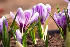Açafrão violeta Fotografia de Stock Royalty Free