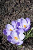 Açafrão violeta Imagens de Stock Royalty Free