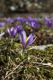 Açafrão violeta Imagem de Stock Royalty Free