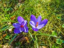 Açafrão violeta-azul Imagem de Stock