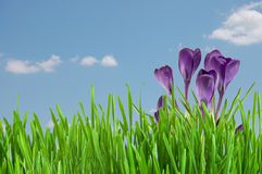 Açafrão violeta bonito Foto de Stock