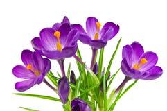 Açafrão violeta bonito Fotografia de Stock Royalty Free