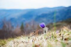 Açafrão violeta bonito na grama na montanha Fotos de Stock