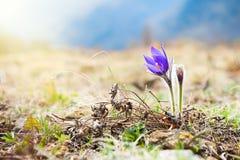 Açafrão violeta bonito, primeiras flores da mola Imagem de Stock
