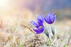 Açafrão violeta bonito, primeiras flores da mola Fotografia de Stock