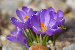 Açafrão violeta com uma abelha Imagem de Stock