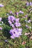 Açafrão violeta completamente de florescência Imagens de Stock Royalty Free