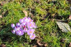 Açafrão violeta completamente de florescência Fotografia de Stock