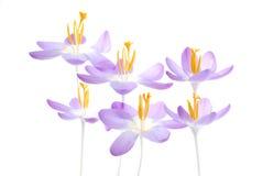 Açafrão violeta da mola Fotos de Stock Royalty Free