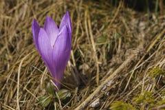 Açafrão violeta de florescência em um prado da montanha Foto de Stock Royalty Free