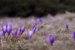 Açafrão violeta de florescência em um prado da montanha Fotografia de Stock Royalty Free