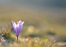 Açafrão violeta de florescência na estação de mola Foto de Stock