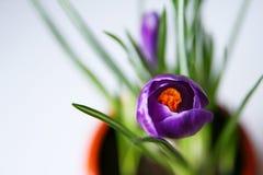 Açafrão violeta em um potenciômetro Fotos de Stock