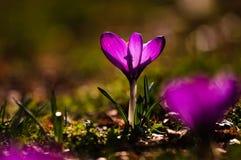 Açafrão violeta - flor da mola Fotografia de Stock
