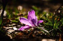 Açafrão violeta - flor da mola Foto de Stock Royalty Free