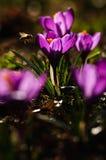 Açafrão violeta - flor da mola Imagem de Stock Royalty Free