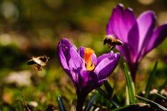 Açafrão violeta - flor da mola Fotos de Stock Royalty Free