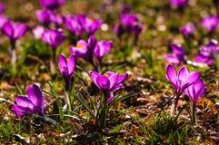 Açafrão violeta - flor da mola Fotografia de Stock Royalty Free