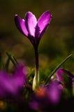Açafrão violeta - flor da mola Imagens de Stock