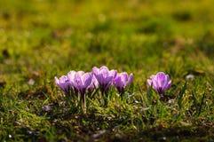 Açafrão violeta - flor da mola Imagens de Stock Royalty Free