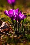 Açafrão violeta - flor da mola Fotos de Stock