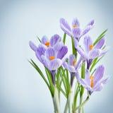 Açafrão violeta - flores frescas da mola Fotos de Stock Royalty Free